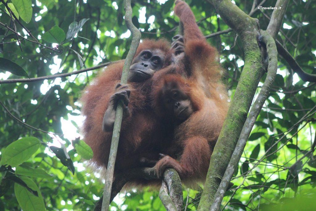 Bukit Lawang- A caccia di oranghi