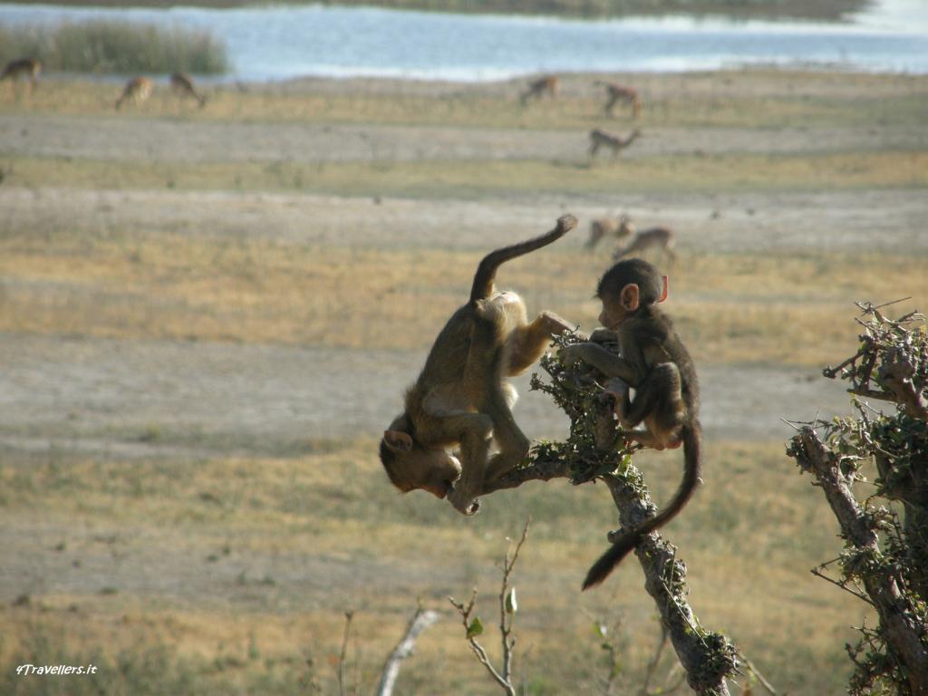 Chobe - Scimmiette